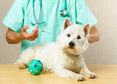 szczepienie psa, robienie zastrzyku