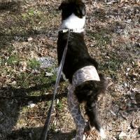 czarno-bialy-pies-na-smyczy