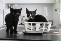 dwa-czarne-kotki